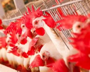 Arábia Saudita suspende vendas de carne de aves da JBS