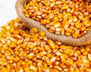 Milho argentino pode ameaçar alta dos preços