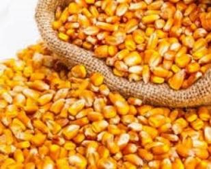 Preços do milho novamente elevados no mercado físico brasileiro