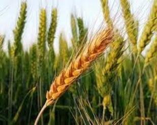 RS espera alta de 37% na safra de trigo